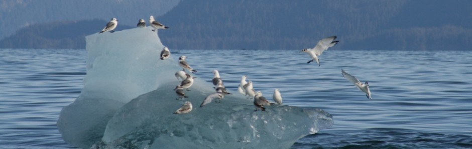cropped-Valdez-May-2009-gulls-on-ice.jpg